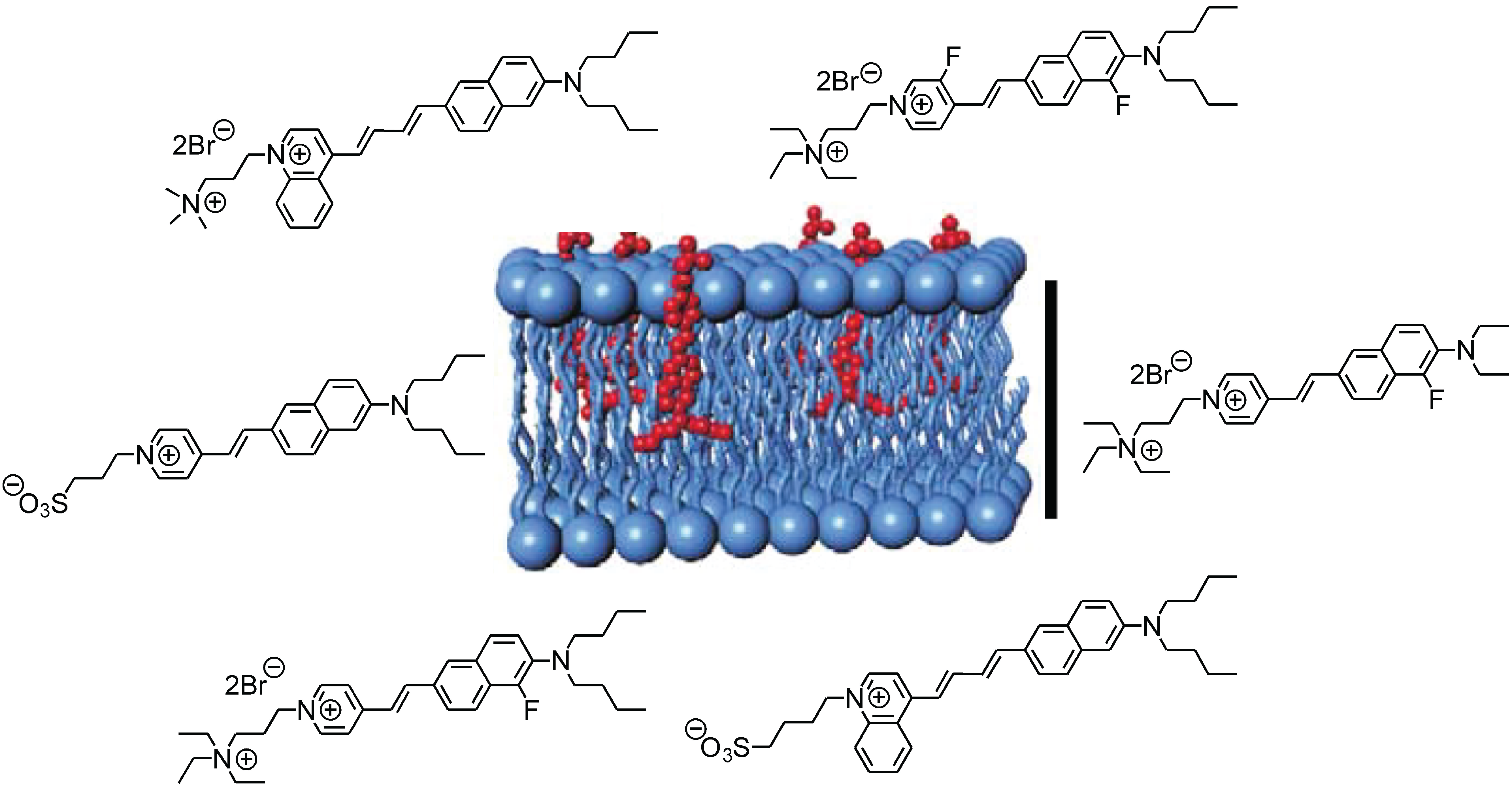 Membrane binding of voltage-sensitive dyes from Potentiometric Probes including Di-4-ANEPPS
